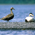 Sea Diving Duck - Eider
