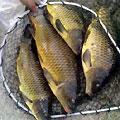 Рыбалка в Азербайджане. Сазан