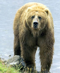 Hunting Caucasian Brown Bear