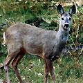 Hunting Roe Deer