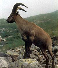 Охота на кавказского (дагестанского) тура