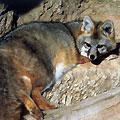 Hunting in Azerbaijan. Hunting Foxes