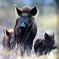 Hunting Wild Boars. Hunting in Azerbaijan